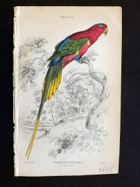 Jardine 1843 Antique Bird Print. Papuan Lory. After Edward Lear